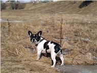 Ищем подругу для вязки Француз 3, 5 года (крестьянин без родословной (-:) физиологические данные соответствуют породе, характер стойкий, веселый, добр, Ангарск - Вязка собак